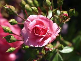 A Pink Rose by P8ntBal1551