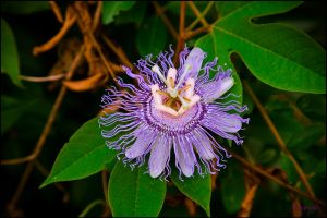 PASSION FLOWER by Artographs