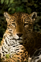 Panthera Onca Portrait by hoboinaschoolbus