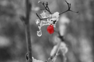 Red berry by MarquessaPhotography