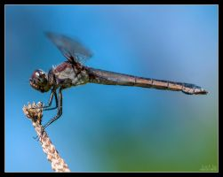 Brown Dragonfly by Eccoton