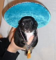 Mexican Chihuahua 2 by mceric