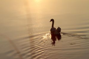 The Swan III by Age-Of-Goldmund