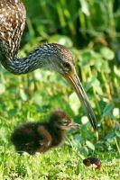 Limpkin Chick with Mom 2 by Kippenwolf