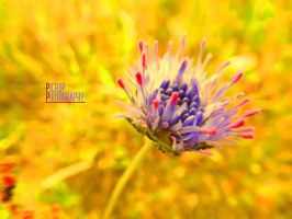 Purple and Pink by Pickup-Photography