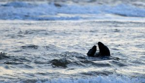 Seal Silhouette by waggysue
