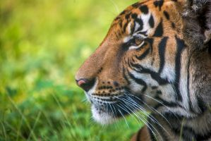 Tiger Face by cathy001