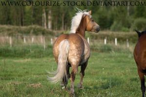 Haflinger Stock 5 by Colourize-Stock