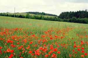 poppy field stock by koko-stock