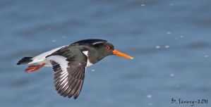Oystercatcher flight by Slinky-2012