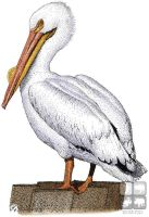 White Pelican by rogerdhall