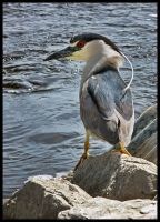 night heron by ariseandrejoice