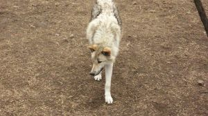 White Wolf Walking - Stock by Desperation-Stock