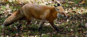 Red Fox walking by Aries18o18