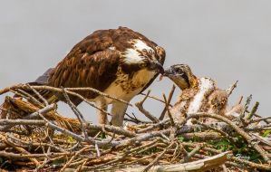 Feeding The Chick by Grouper