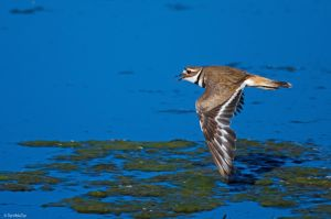 Cry of the Killdeer by TerribleTer