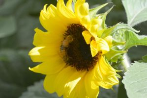 Sunflowers Are Buzzing, Together 2 by Miss-Tbones