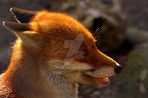 Red Fox by naturelens