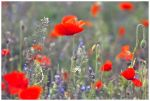 poppies by newcastlemale