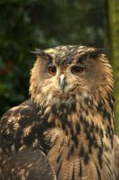 Eurasian Eagle Owl 4 by steppelandstock