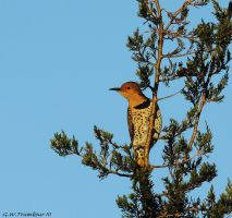 Tree top Flicker by natureguy