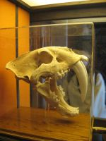 Saber Tooth Tiger Skull 2 by GreenEyezz-stock