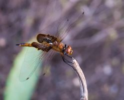 Copper Dragonfly by AndrewCarrell1969