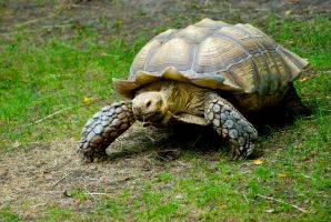 African Spurred Tortoise by prettyflour