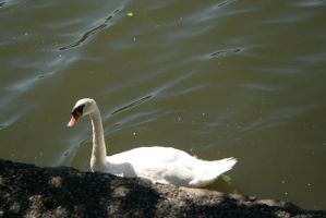 Another Day Another Swan by Wilcox660