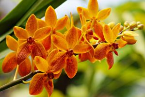 Orange orchid flowers 1 by a6-k