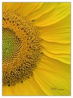 Sunflower by bupo