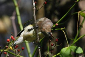 Cedar Waxneck by mydigitalmind
