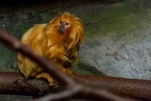 Zoo Granby 030 - Golden Lion Tamarin by Morsoth