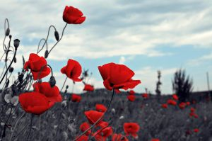 Poppies - selective colour by blo0dy-princesS