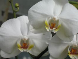 White Orchid 1 by Jyl22075