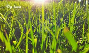 Green grasses 2 by rosetrace