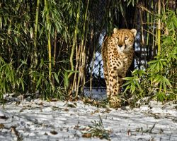 cheetah583 by redbeard31