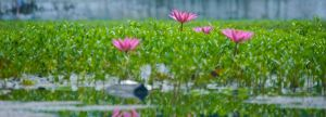 water lily by blur-stock