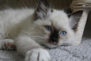 Ragdoll Kitten by a13lackrose