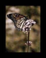 Monarch Butterfly V by angelicque
