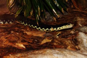 Giant Hognose Snake by S-H-Photography