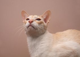 siamese cat stock -2 by NickiStock