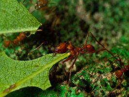 Leaf Cutter Ants 00 - June 12 by mszafran