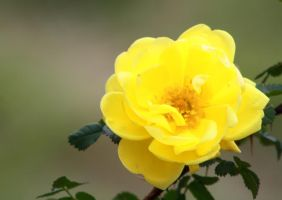Single Yellow Rose by GradyArt