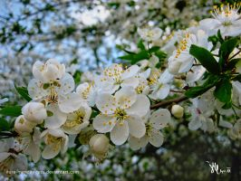 white blooming spring by ilura-menday-less