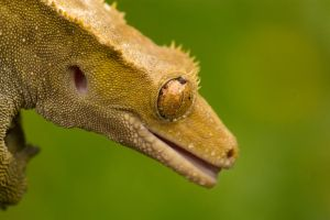 Crested gecko in the rain by AngiWallace