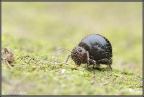 Springtail by Dark-Raptor