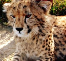 cheeta cub by AdriCherryBlossom