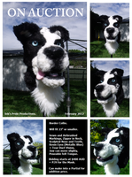Border Collie Mask ON AUCTION by RiiThePup
