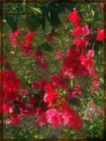 20150218-1541-Essence-of-Bougainvillea-Blooms-v13 by quasihedron